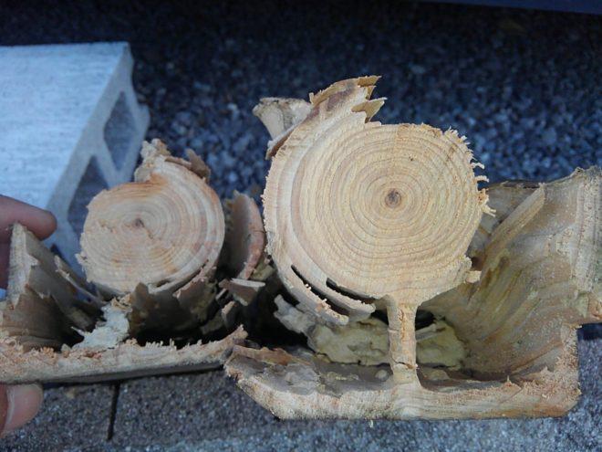 シロアリ被害杉の木